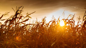 Corn field at the yellow sunset Stock Photos