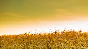 Corn field at the yellow sunset Royalty Free Stock Images