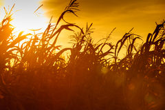 Corn field at the yellow sunset Royalty Free Stock Photography