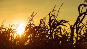 Corn field at the yellow sunset Stock Images