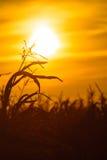 Corn field at the yellow sunset Stock Photo