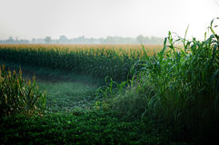 Corn fields Stock Photos