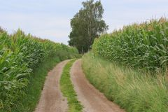 Corn fields Royalty Free Stock Photography