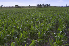 Corn fields. Corns grwoing in the fields Stock Images