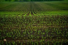 Corn Fields. Agriculture Photo Theme. Small Corn Plants Horizontal Photo Royalty Free Stock Image