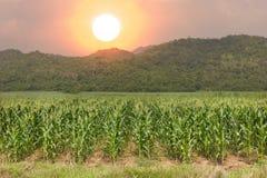 Corn fields. Corn fields under the big sun Royalty Free Stock Photos
