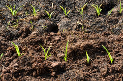 Corn in the fields Royalty Free Stock Photography