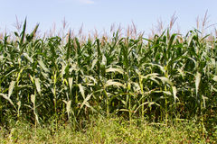 Corn fields Stock Image