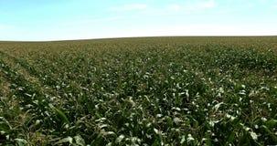 Corn in the fields 06 stock video