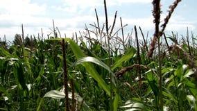 Corn in the fields 07 stock footage