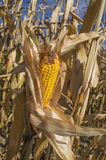 Corn fields. Corn in the fields in autumn Royalty Free Stock Photography