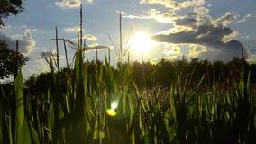 Corn fields, backlight Stock Photos