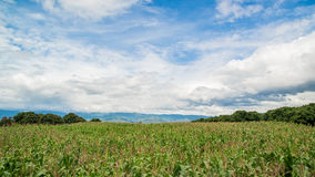 Corn fields Royalty Free Stock Image