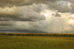 Corn Fields Before Thunderstorm Royalty Free Stock Images