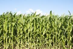 Corn Fields Royalty Free Stock Photos