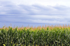 Corn fields with cloudy sky in the background Royalty Free Stock Photo