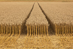 Corn fields with corn ready for  harvest Royalty Free Stock Photo