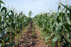 Corn fields Stock Images