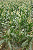 Corn fields Stock Photo