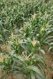 Corn fields. In the countryside Stock Photo