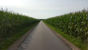 Corn fields devided through a foot path stock image