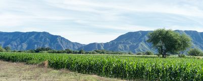Corn fields. In ilocos sur with the view of the stock photo