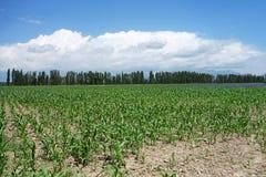 Corn fields. Located in Xinjiang,China Stock Photos