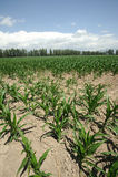 Corn fields. Located in Xinjiang,China Stock Photography