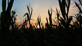 Corn fields royalty free stock images