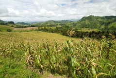 Corn Fields - Mindanao, Philippines. This image shows Corn Fields in Mindanao, Philippines Stock Photography