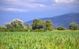 Corn fields Stock Photos