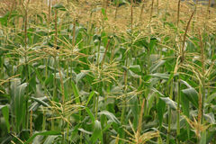 Corn Fields Near Harvest Time. Close up of corn plants in a field near harvest time stock photo