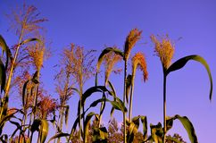 Corn fields in NH on a summer day. Purple skies in New Hampshire in summer Royalty Free Stock Image