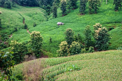 Corn fields. In northern Thailand Royalty Free Stock Images