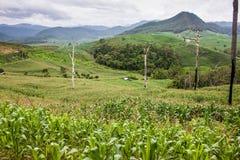 Corn fields. In northern Thailand Stock Photos