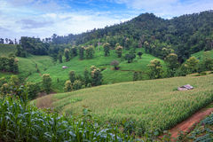 Corn fields. In northern Thailand Stock Photography