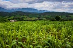 Corn fields. In northern Thailand Stock Photo