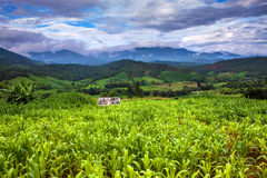 Corn fields. In northern Thailand Royalty Free Stock Photography