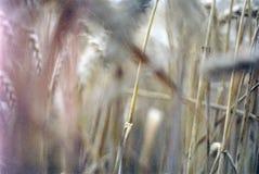 Corn Fields, Oxfordshire Royalty Free Stock Photo