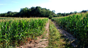 Corn fields with road. Corn fields with dirt road in between, leading to forest. Located in rural Pennsylvania stock photo