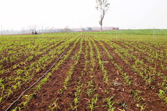 Corn fields. Sapling corn fields in Asia Royalty Free Stock Photos