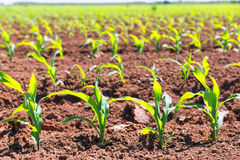 Corn fields sprouts in rows in California agriculture. Plantation USA