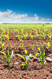 Corn fields sprouts in rows in California agriculture stock images
