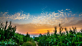 Corn fields Royalty Free Stock Photo