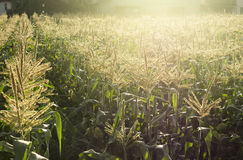 Corn fields with sunlight. In the morning Royalty Free Stock Image