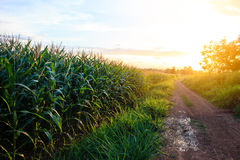 Corn fields at sunset Royalty Free Stock Image