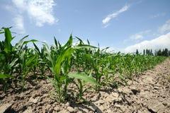 Corn fields. Under blue sky Royalty Free Stock Photography
