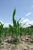 Corn fields. Under blue sky Royalty Free Stock Photo
