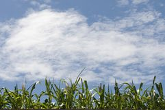 Corn fields under the sky Royalty Free Stock Images