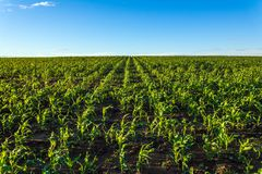 Corn fields. Wide farmer fields with green corn sowing Stock Photography